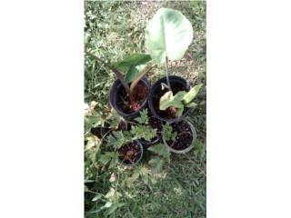 Plantas de Yautia Amarilla y Apio, Puerto Rico