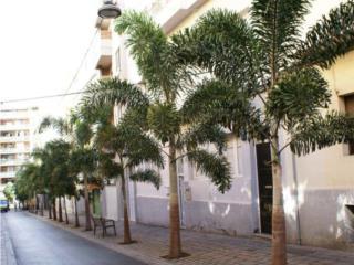 Palma Foxtail 5' de Altura del Tronco, Puerto Rico