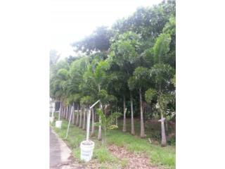 Cuatro Palmas Foxtail 5' de Altura del Tronco, Puerto Rico