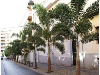 Palmas Foxtail de 7' altura de tronco, Puerto Rico