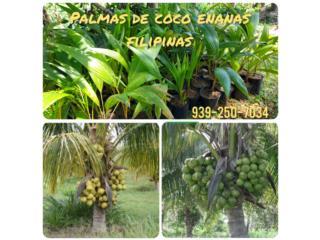 Palmas de coco enanas filipinas, Puerto Rico
