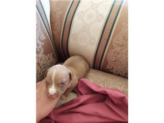 Perros/Dogs Puerto Rico