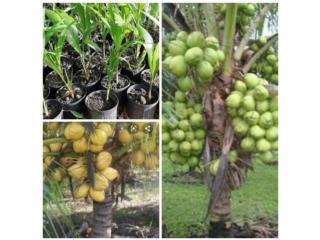 Toa Baja Puerto Rico Tormenteras, Venta de palmas de coco enana filipinas