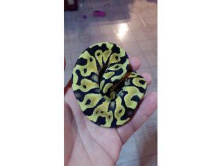 ball pythons varias Puerto Rico