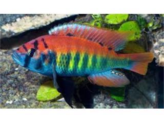 Aplochromis niererei  Puerto Rico