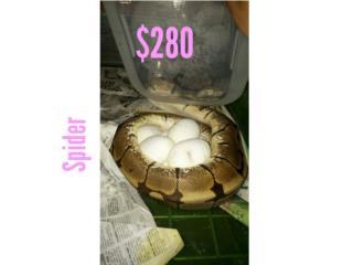 Pitón de Bola varias, solo venta Puerto Rico