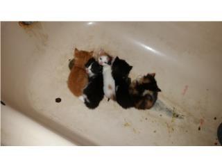 preciosos gatitos en adopción Puerto Rico