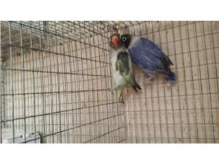 Lovebirds Probada Puerto Rico