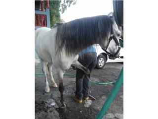 Precioso caballo moro Puerto Rico