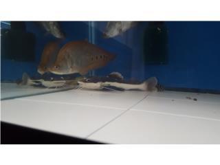 Red tail catfish  Puerto Rico