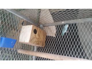 se venden cotorras parrotlets Puerto Rico