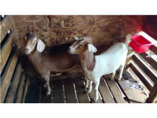 Cabras alpinas y boer, Mascotas Puerto Rico
