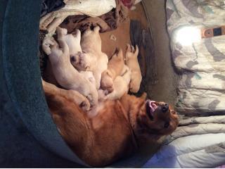 Puerto Rico Preciosos perritos raza Goldador, Perros Gatos y Caballos