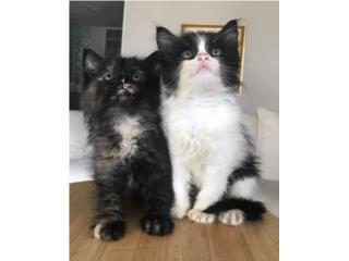 Se regalan preciosas gatitas de un mes Puerto Rico