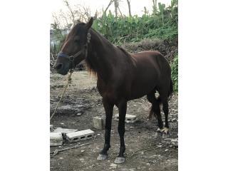 Caballo de 4 años Puerto Rico