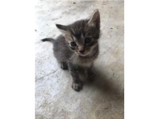 gatitos en adopcion Puerto Rico