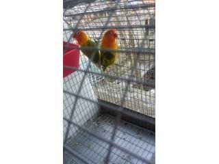 Lovebirds Puerto Rico