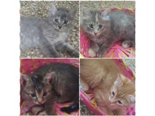 Regalo 3 gatitos de 1 mes 3 hembritas 1 machi Puerto Rico