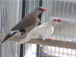 Shaftail Finch  Puerto Rico