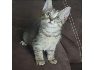 Regalo hermosa gatita de 1 1/2 mes Puerto Rico