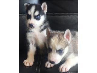 Siberian Husky Hembra y Macho Puerto Rico