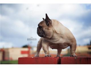 French Bulldog Linea Bongo Puerto Rico