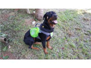 Rottweiler entrenada Puerto Rico