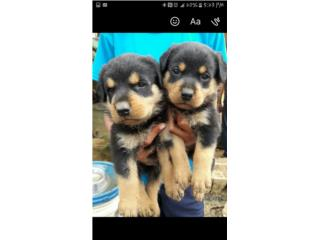 Puppies Rottweilers Puerto Rico