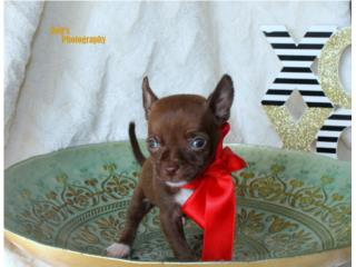 Mini Chihuahua Macho  Puerto Rico