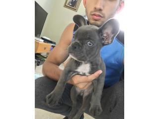 French Bulldog Blue Puerto Rico