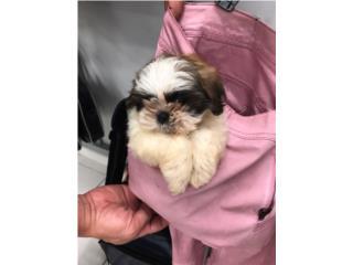 Puerto Rico Puppy Shih Tzu entrenada, Perros Gatos y Caballos