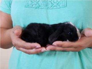Conejos holland lop Puerto Rico
