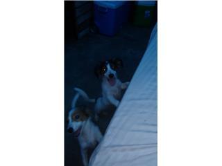 Regalo dos perritos medianos. Son machos  Puerto Rico