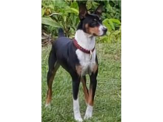 Decker Rat Terriers unicos en PR Puerto Rico