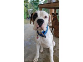 Boxer Hembra  Puerto Rico