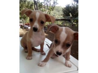 Chihuahuas machitos  Puerto Rico