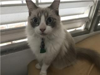 Gato macho persa  Puerto Rico