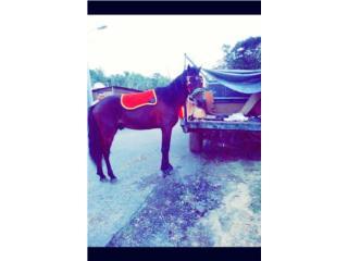 Hermoso caballo en venta o se cambia Puerto Rico