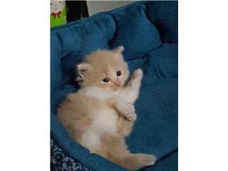 Precioso gatito angora/himalaya $160 Puerto Rico