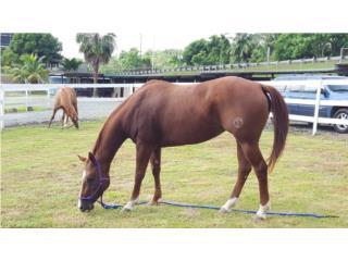 Quarter Horse para Rodeo Puerto Rico