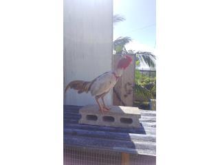 Gallo Asil Japone, Exotico Puerto Rico