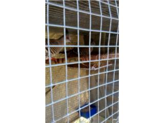 Palomas Australian crested Puerto Rico