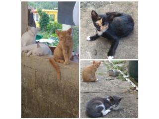 Gatitos para adopcion solo una hembra Puerto Rico