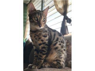 Gatos Bengalas Puerto Rico