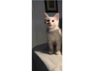 Adopción Gatito 2 meses Blanco Puerto Rico