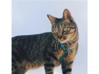 Hermoso y tranquilo gato llamado Blue Puerto Rico