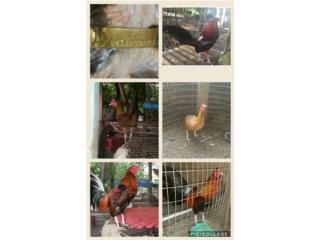 padrotes y gallinas finas líneas conocidas Puerto Rico
