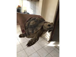 tortuga sulcata $140 Puerto Rico