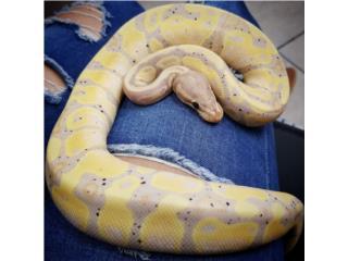 Banana Hembra Ball python  Puerto Rico