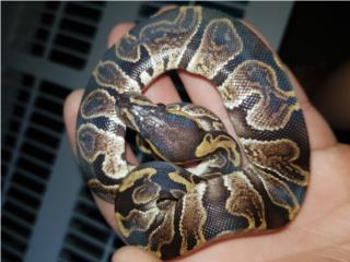 Ghi ball python Puerto Rico